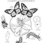 Coloring Pages Butterfly Life Cycle